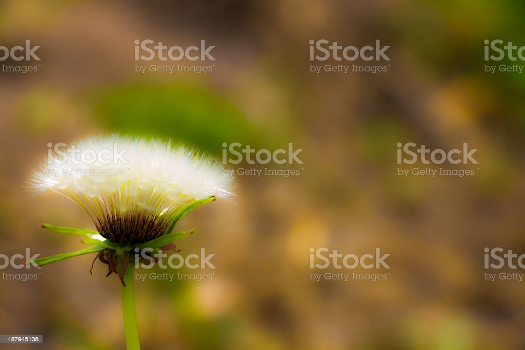Taraxacum stock photo