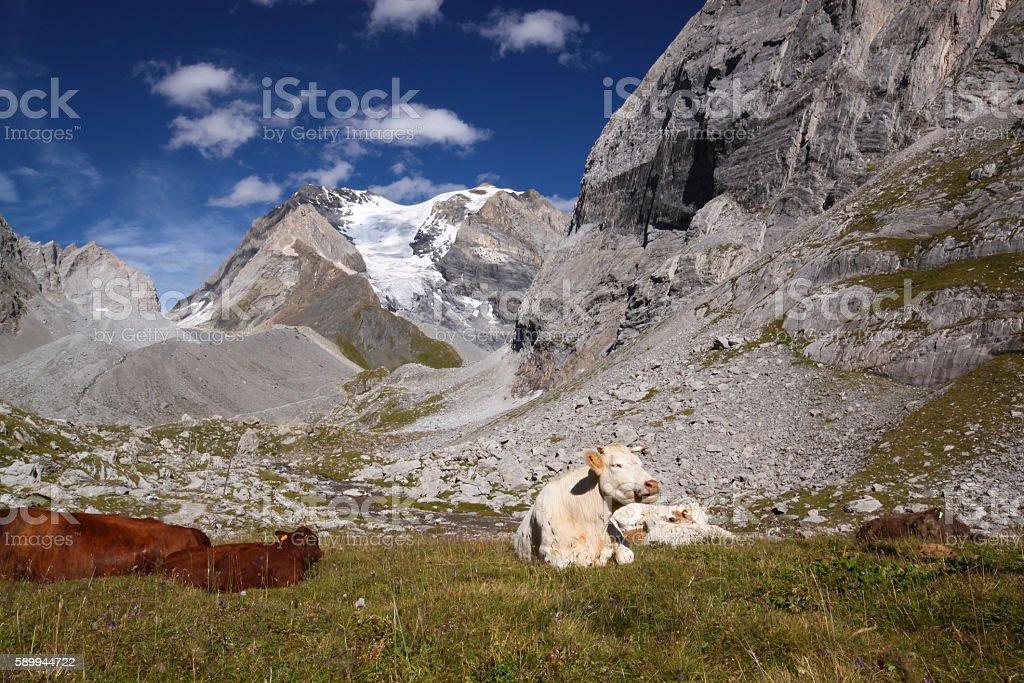 Tarentaise cows in Vanoise National Park stock photo