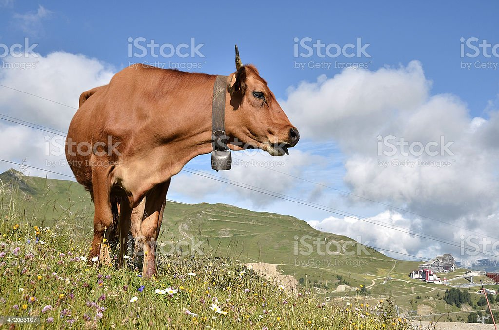 Tarine cow in the French Alps stock photo