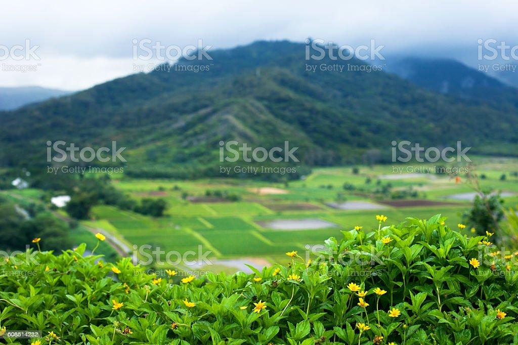 Taro farm fields in Hanalei Valley, Kauai, Hawaii stock photo