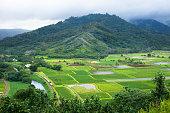 Taro farm fields in Hanalei Valley, Kauai, Hawaii