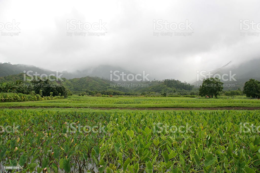 Taro Field on the Island of Kauai. royalty-free stock photo