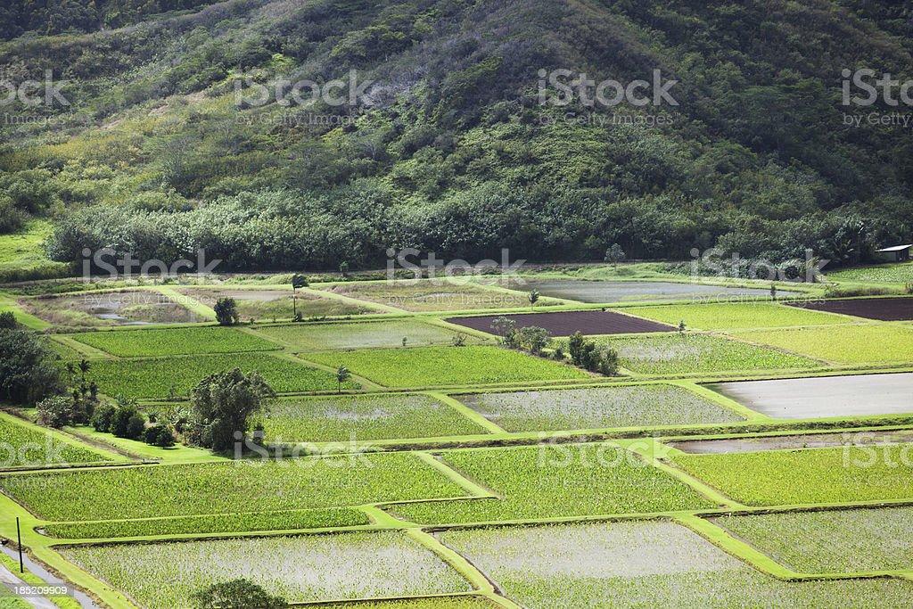 Taro Field on the North Shore of Kauai Hawaii Hz royalty-free stock photo