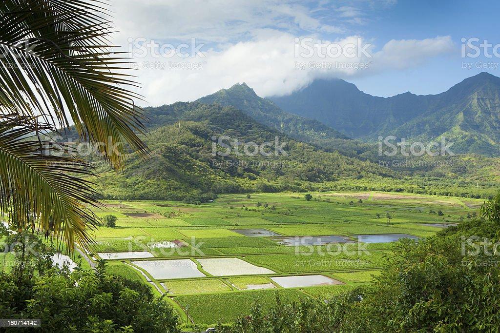 Taro fields in Hanalei Valley, Kauai, Hawaii stock photo