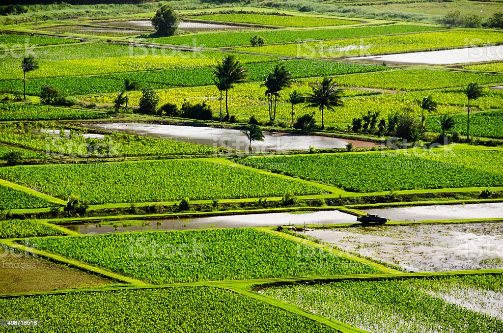Taro fields in Hanalei valley stock photo