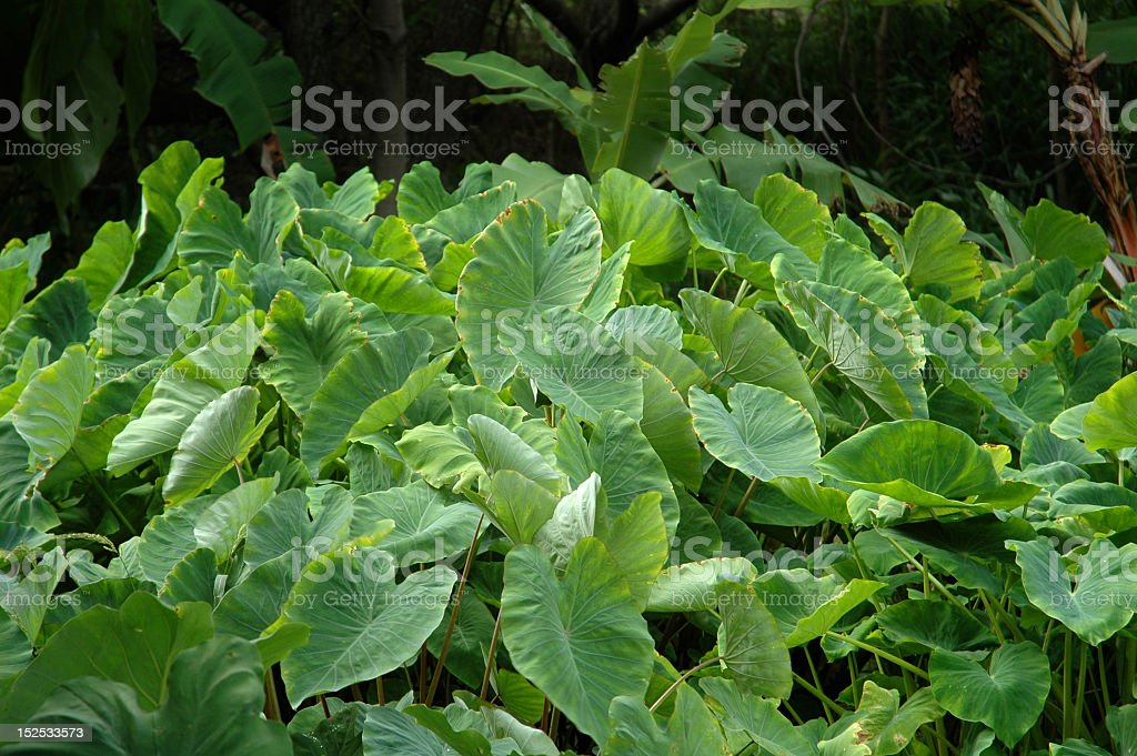 Taro growing in a garden, used to make poi in Hawaii stock photo