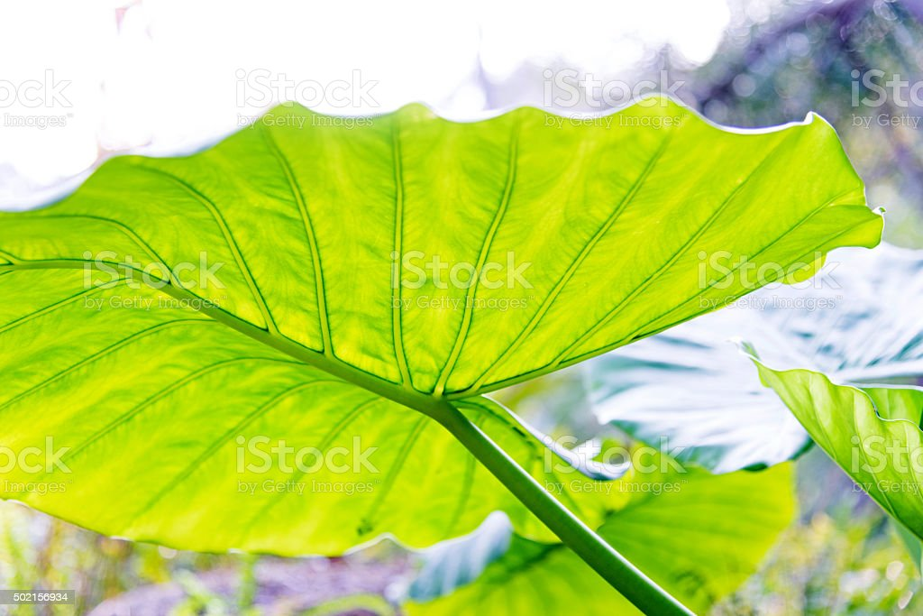 Taro Leaves stock photo