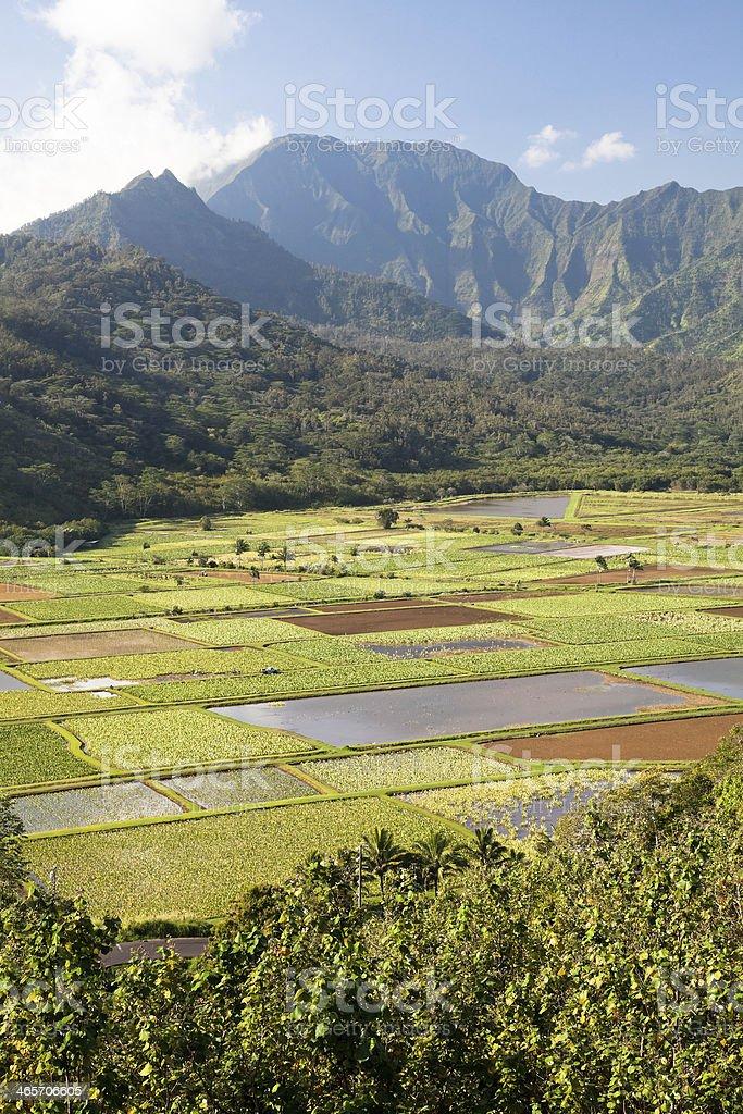 Taro plantation stock photo