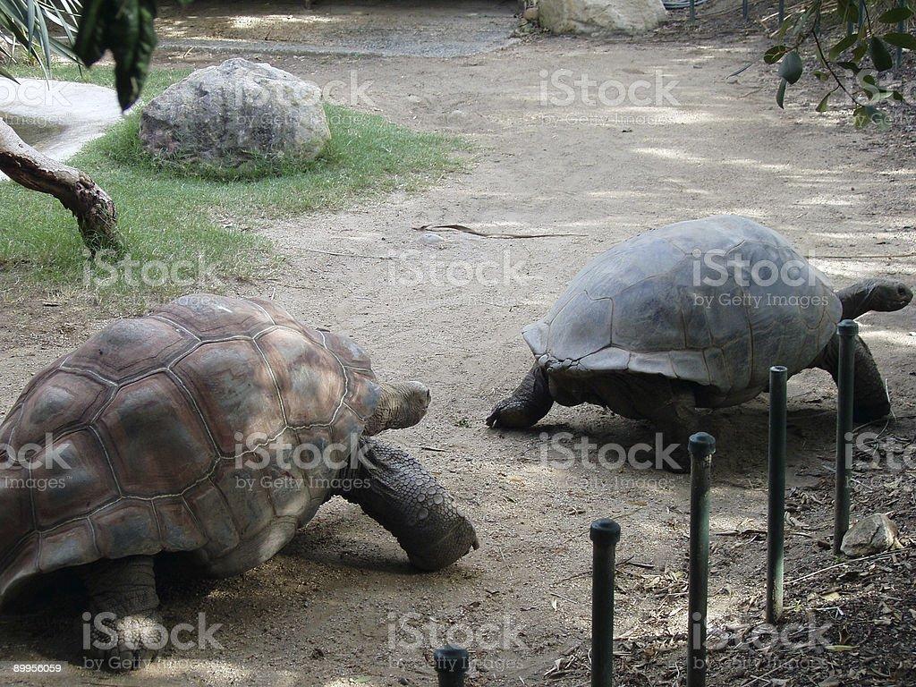 Taronga Zoo Galapagos Tortoise stock photo