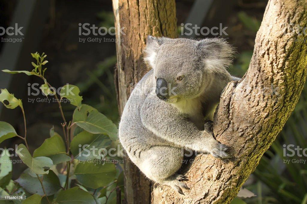 Taronga Zoo - Koala royalty-free stock photo