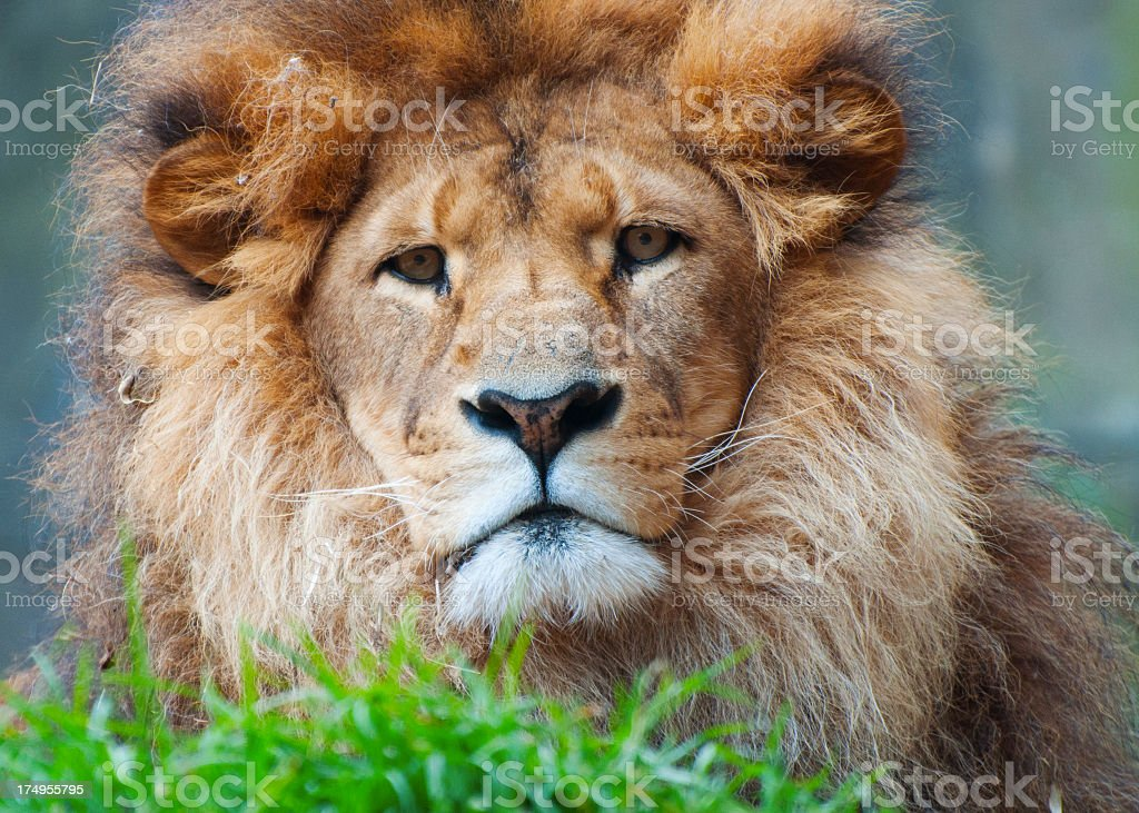 Taronga Zoo Lion royalty-free stock photo
