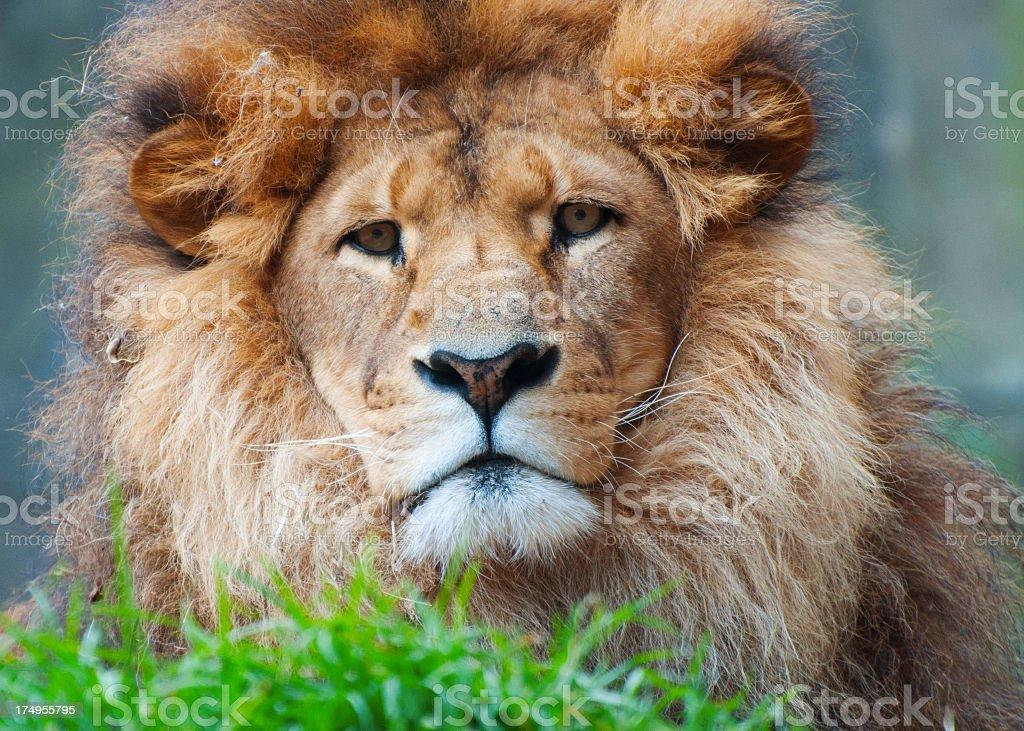 Taronga Zoo Lion stock photo