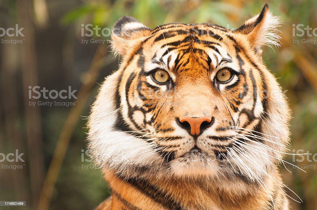 Taronga Zoo Tiger stock photo