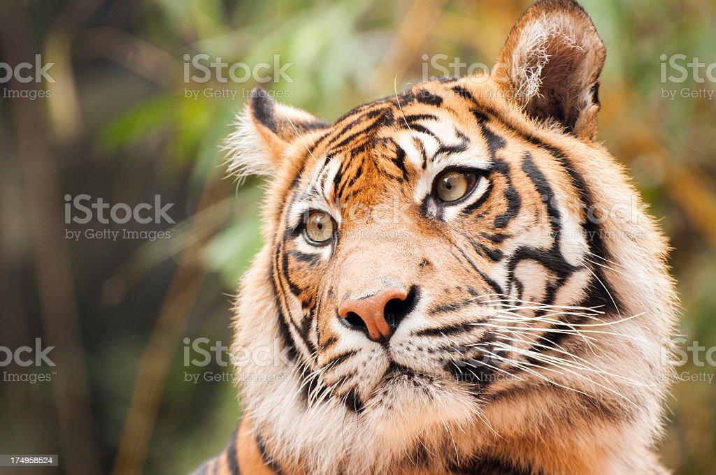 Taronga Zoo Tiger royalty-free stock photo