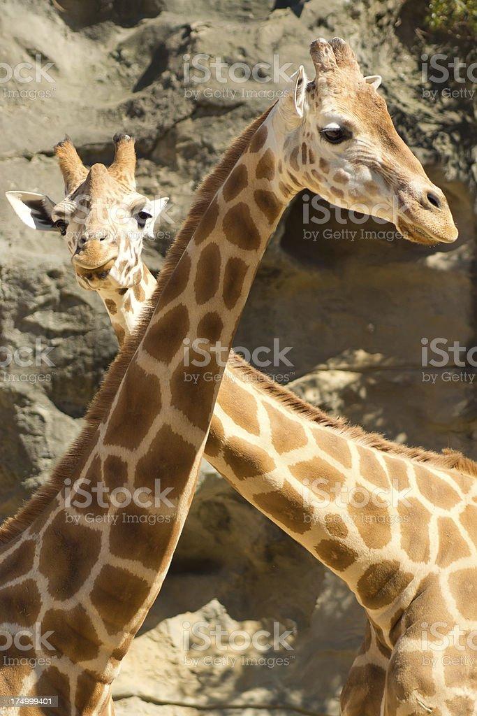 Taronga Zoo - Two Giraffes stock photo