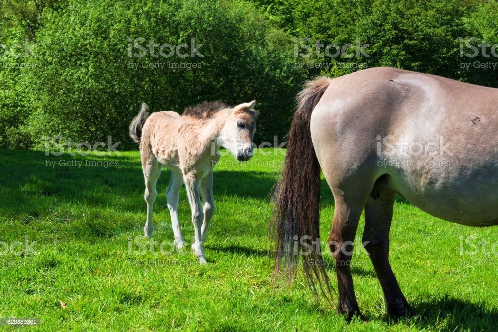 Tarpane Wild horse herd in Neandertal stock photo