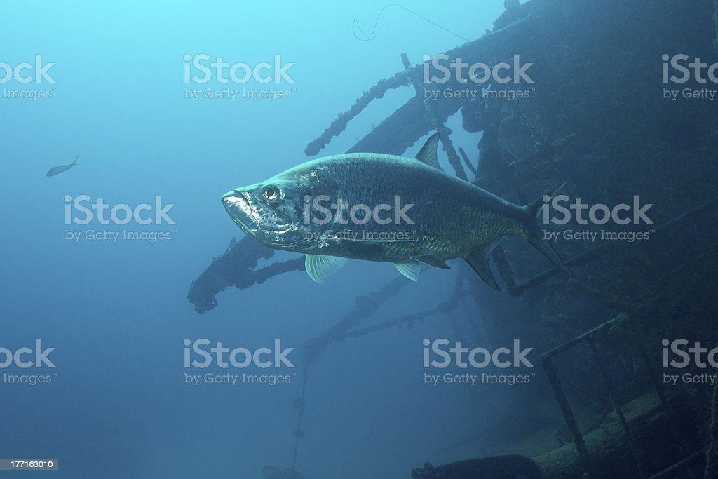 Tarpon on Wreck royalty-free stock photo