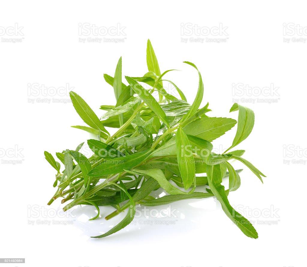 Tarragon herbs  on white background stock photo