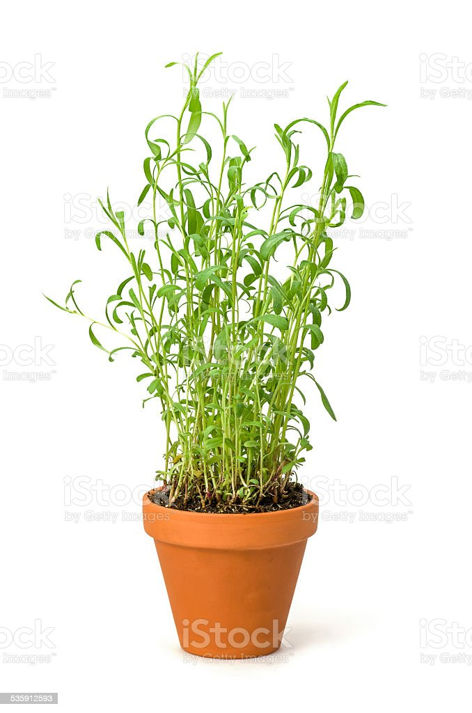 Tarragon in a clay pot stock photo
