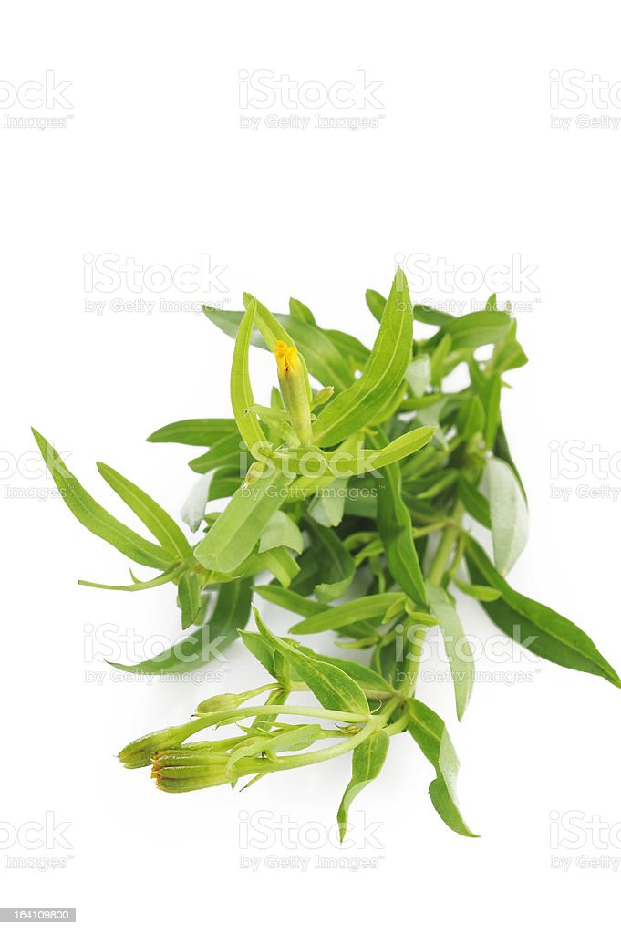 tarragon on white background royalty-free stock photo