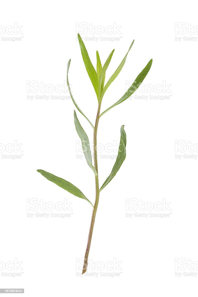 Tarragon (Artemisia dracunculus) royalty-free stock photo