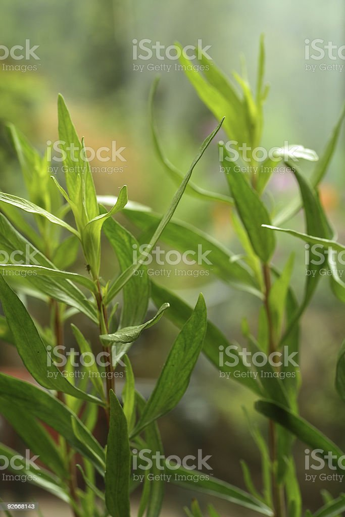 tarragon stock photo