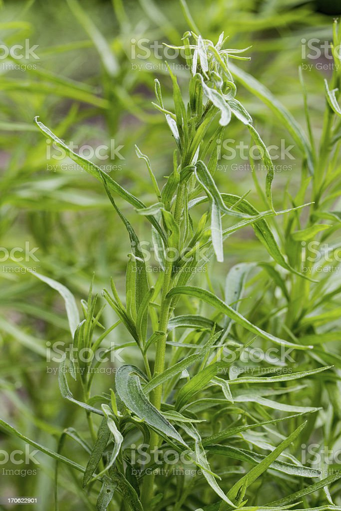 tarragon plants stock photo