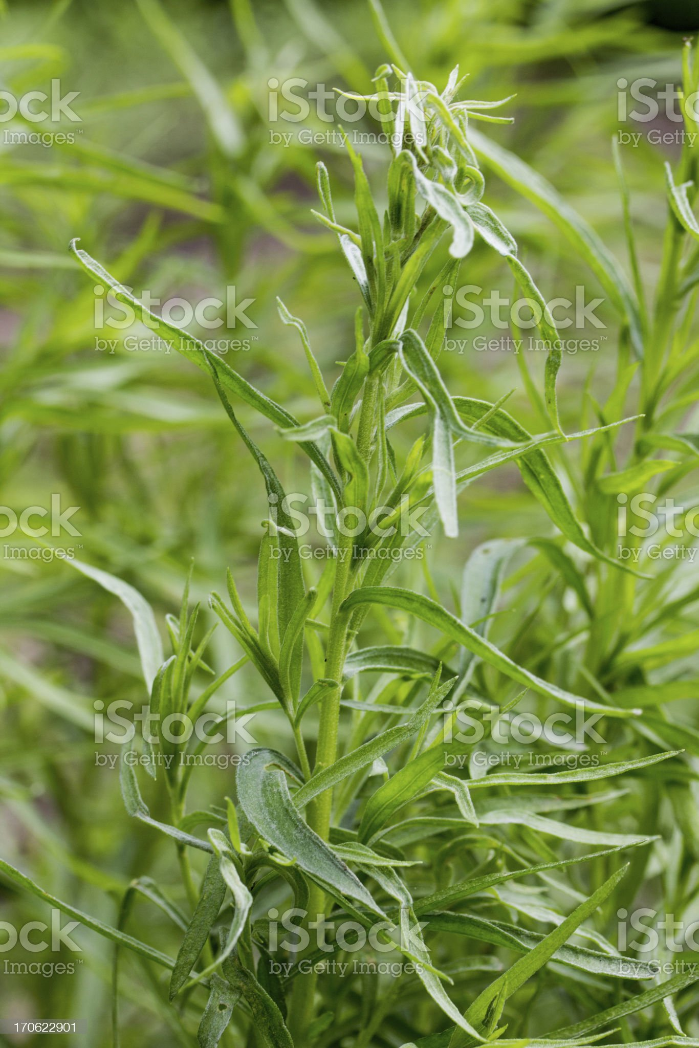 tarragon plants royalty-free stock photo