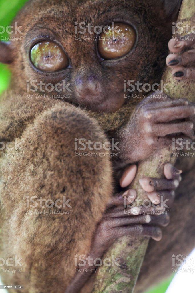 Tarsier stock photo