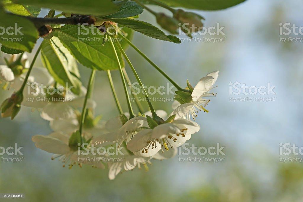 Tart cherry blossom and buds stock photo