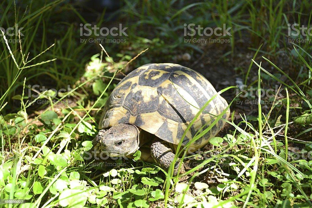 tartaruga stock photo