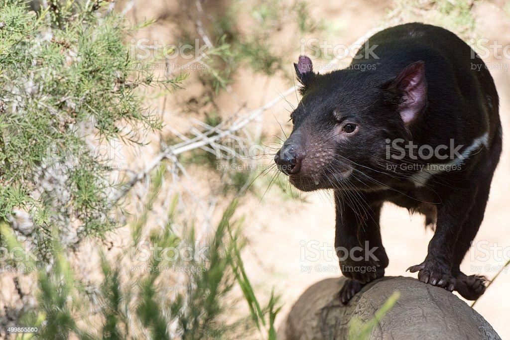 tasmania devil close up portrait stock photo
