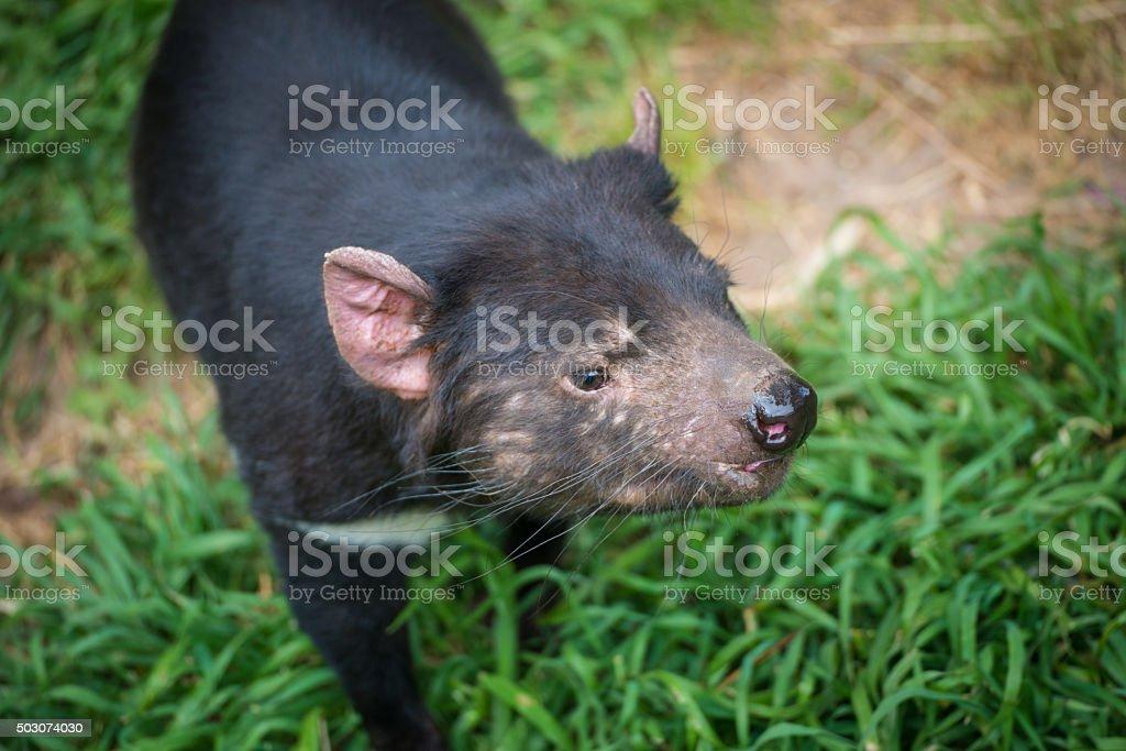 Tasmania devil of Tasmania, Australia. stock photo