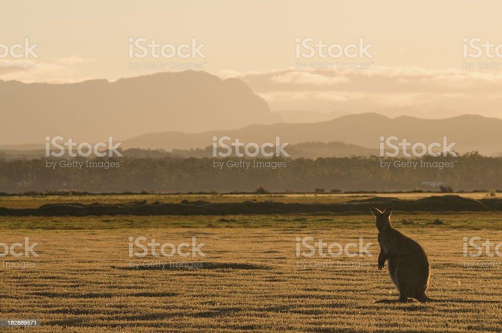 Tasmanian backlit wallaby stock photo