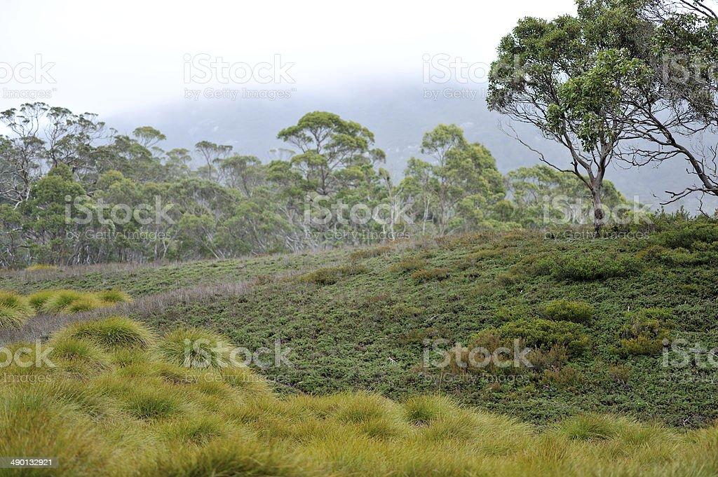 Tasmanian Button Grass stock photo