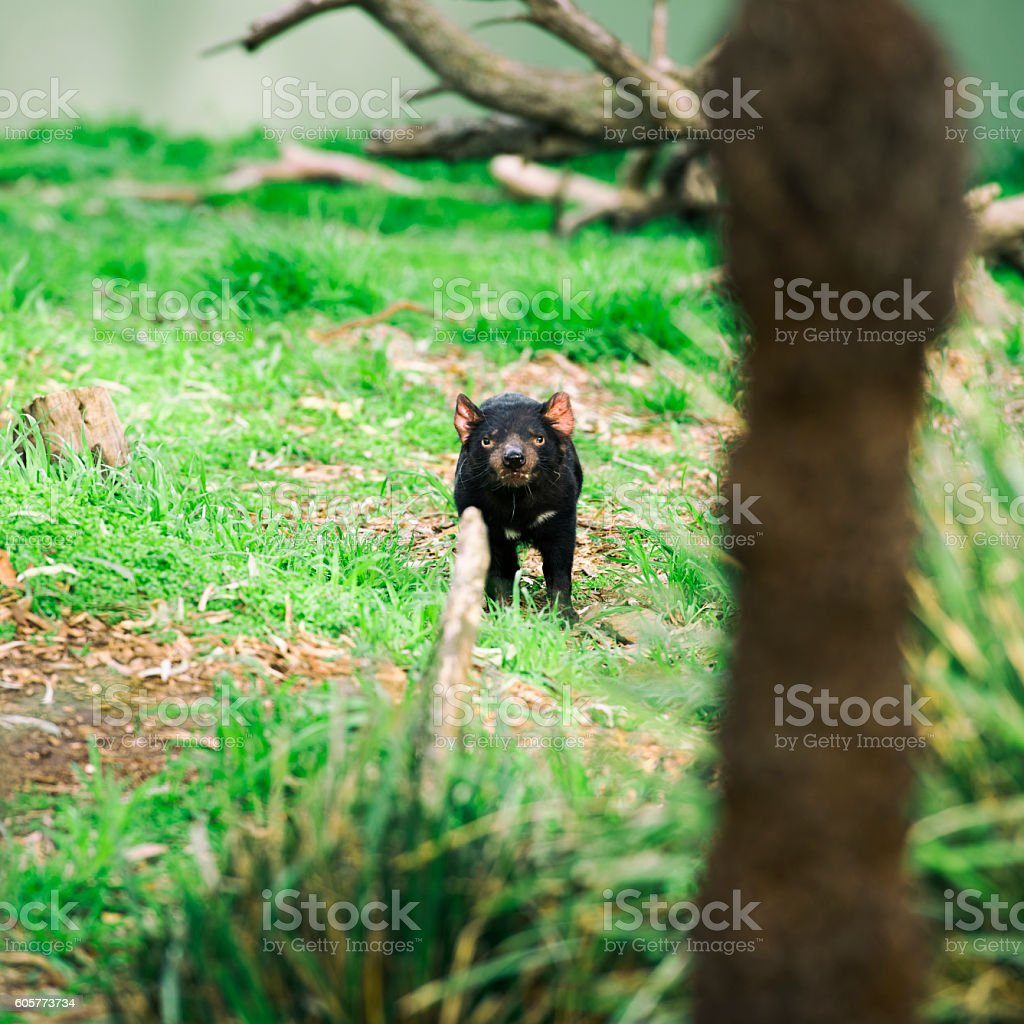 Tasmanian Devil in Hobart, Tasmania. stock photo