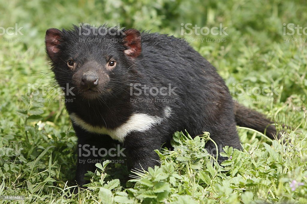 Tasmanian Devil royalty-free stock photo