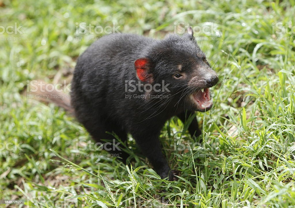 Tasmanian Devil royalty-free stock photo