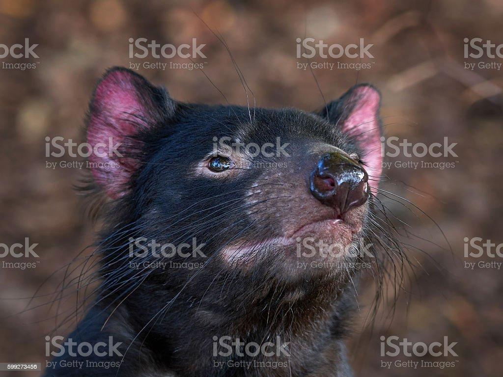 Tasmanian devil (Sarcophilus harrisii) stock photo