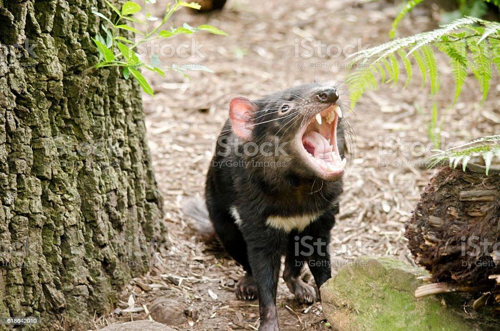 Tasmanian Devil stock photo