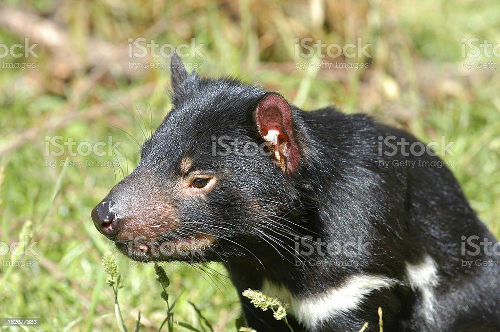 Tasmanian Devil Profile stock photo