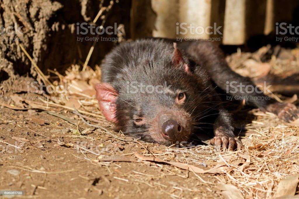 Tasmanian devil resting on ground in Tasmania, Australia stock photo