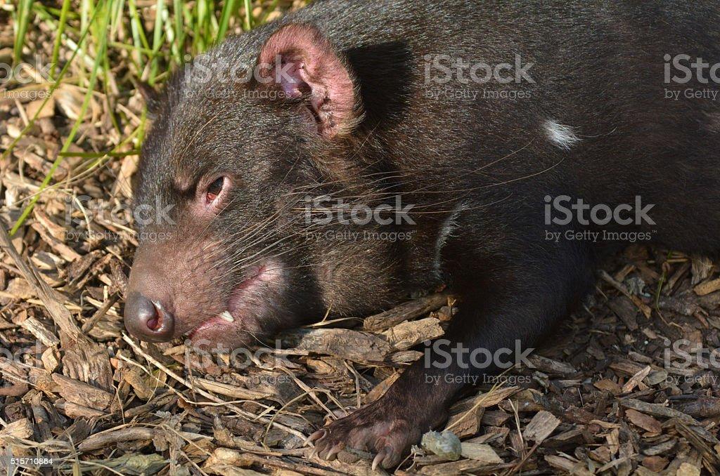 Tasmanian devil resting stock photo
