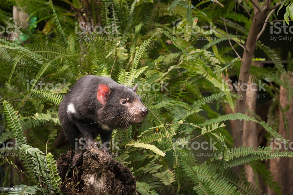 Tasmanian Devil Sitting on log among ferns stock photo