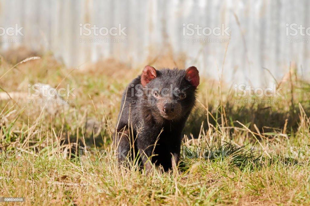 Tasmanian devil walking on green field in the sun, Tasmania, Australia stock photo