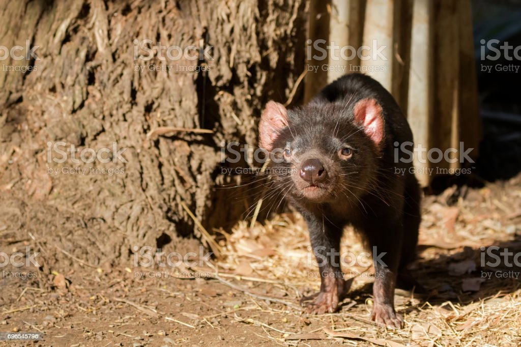Tasmanian devil walking sniffing the air in the sun, Tasmania, Australia stock photo