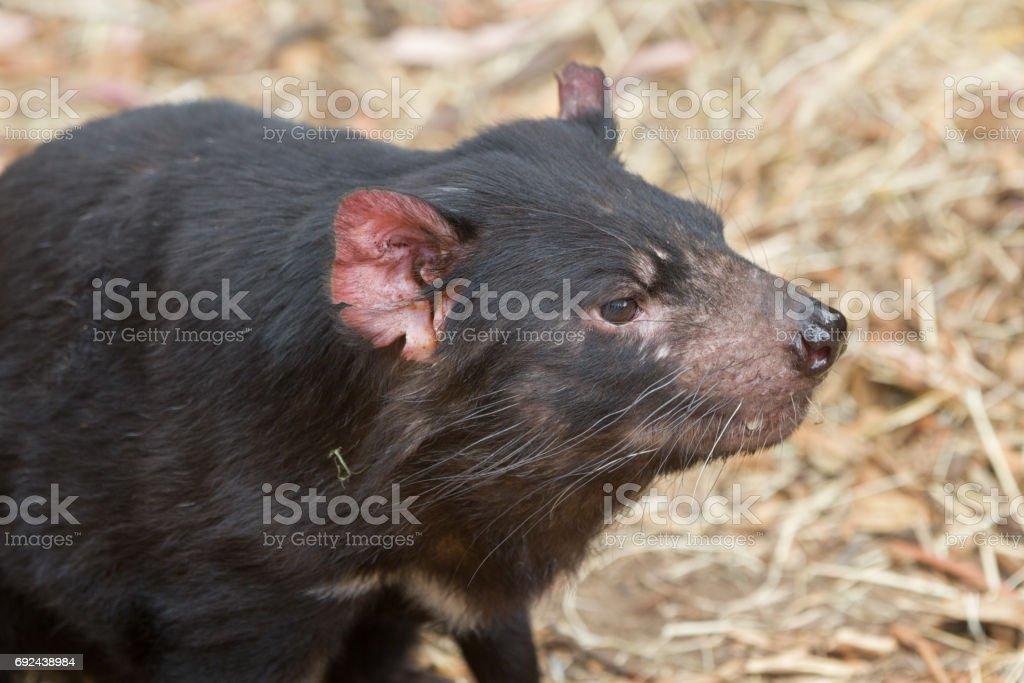 Tasmanian devil walking through forest stock photo