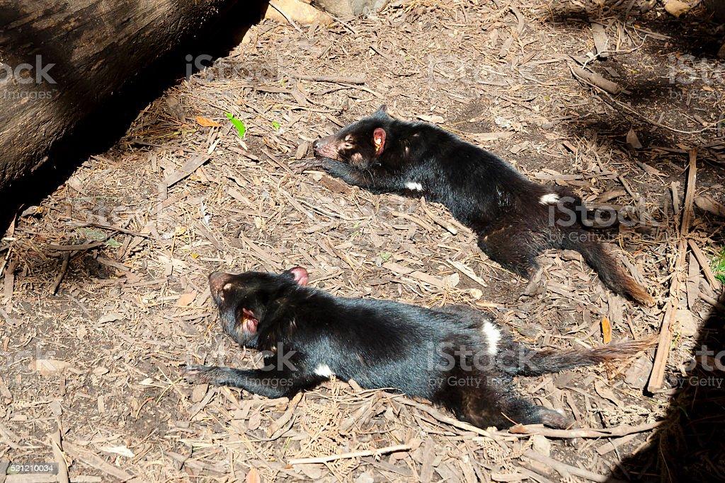 Tasmanian Devils - Tasmania stock photo