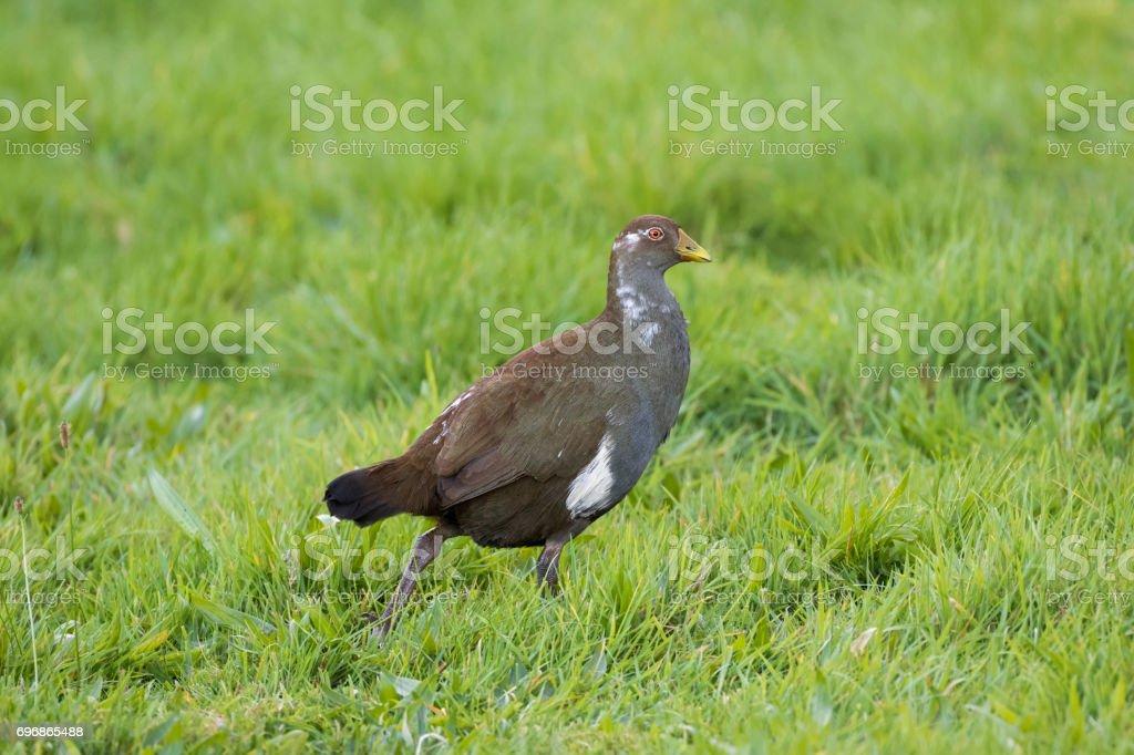 Tasmanian nativehen, flightless bird with yellow beaks, red eyes walking in green field, Tasmania, Australia stock photo