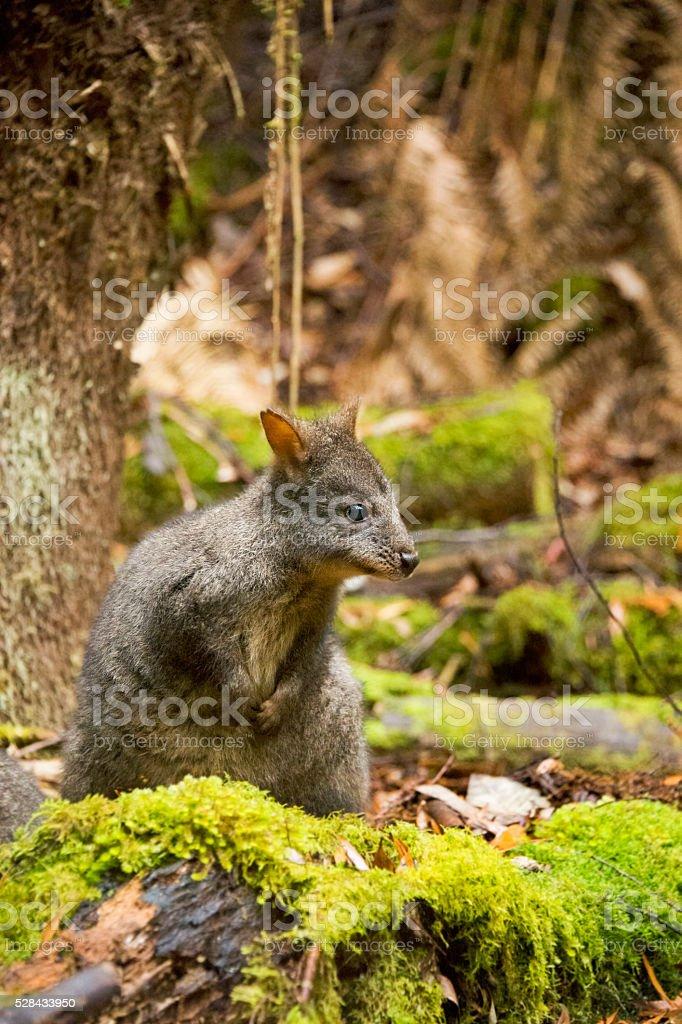 Tasmanian Pademelon in Bush stock photo